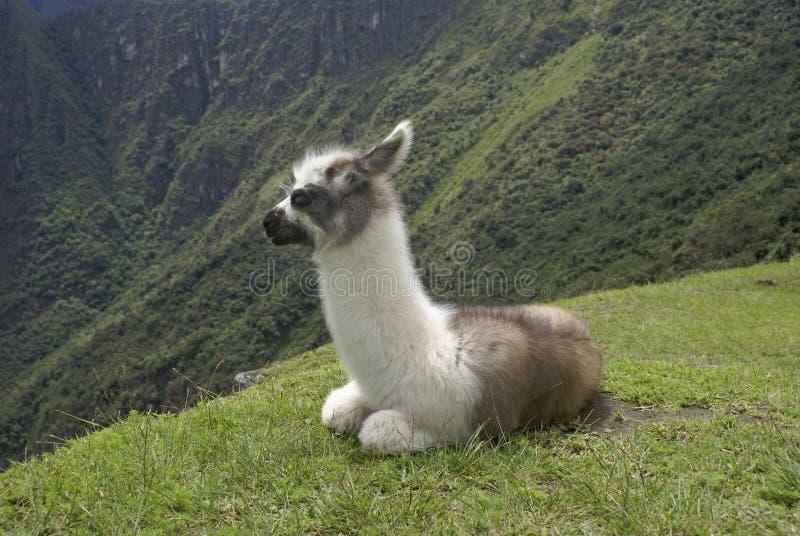 Download Llama stock image. Image of animal, rest, llama, wildlife - 21314135