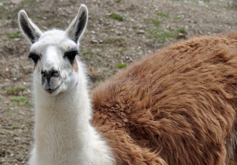 Llama. Detail looking straight away royalty free stock image