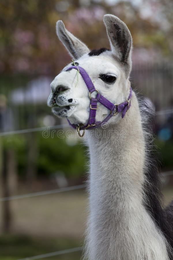 Llama Royalty Free Stock Photo