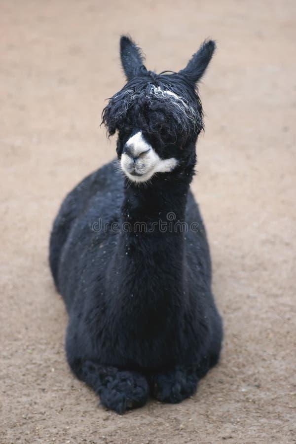 llama стоковая фотография