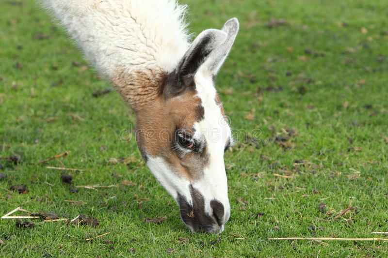 Download Llama stock image. Image of wool, grass, nature, adult - 27406403