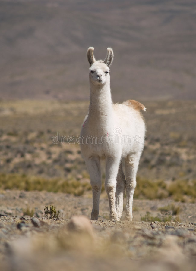 Free Llama Royalty Free Stock Photo - 3800805