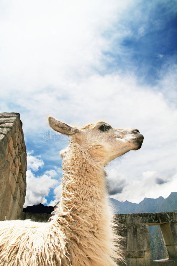llama стоковое изображение rf