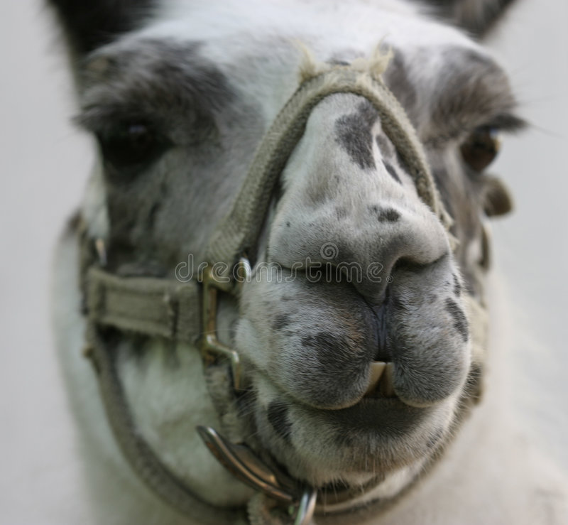 Download Llama stock photo. Image of jaunty, smile, peru, exotic - 54006