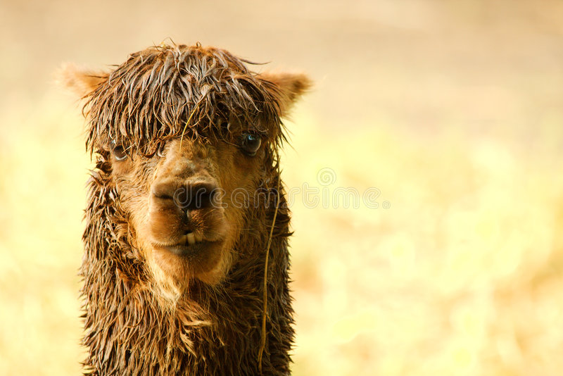 llama στοκ εικόνα