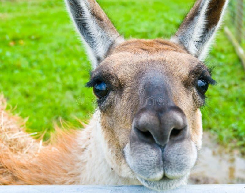 Llama. A Llama with beautiful eyes stock images