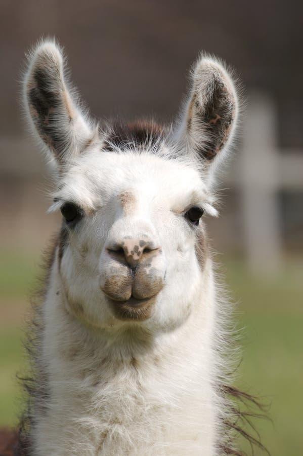 Llama. Close Up stock images