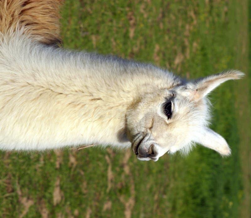 Llama. In field, at  ranch stock image