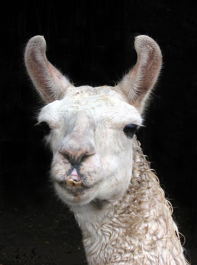 Llama стоковая фотография rf