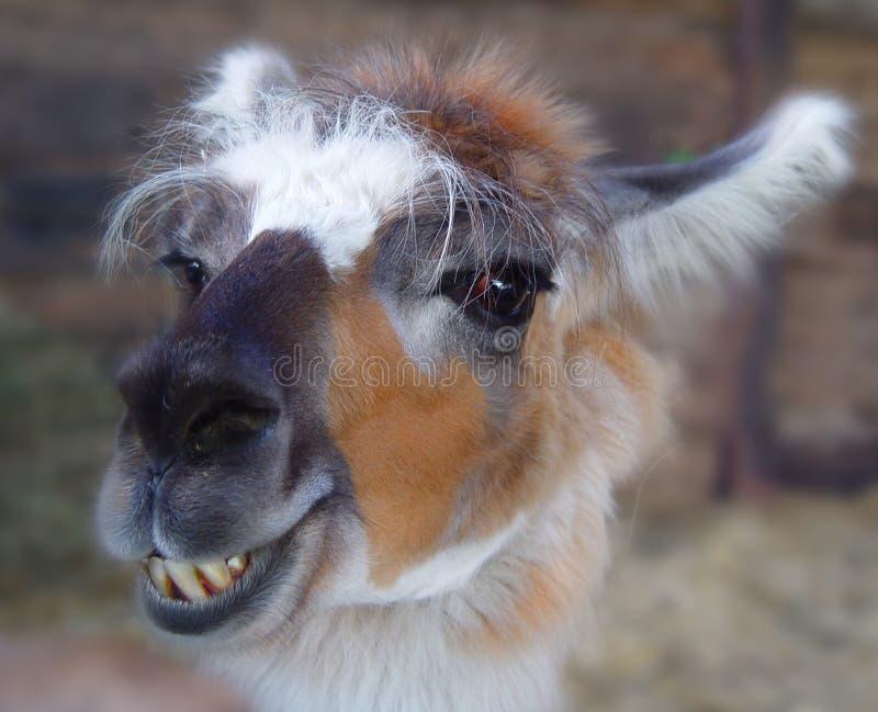 llama стоковые фотографии rf