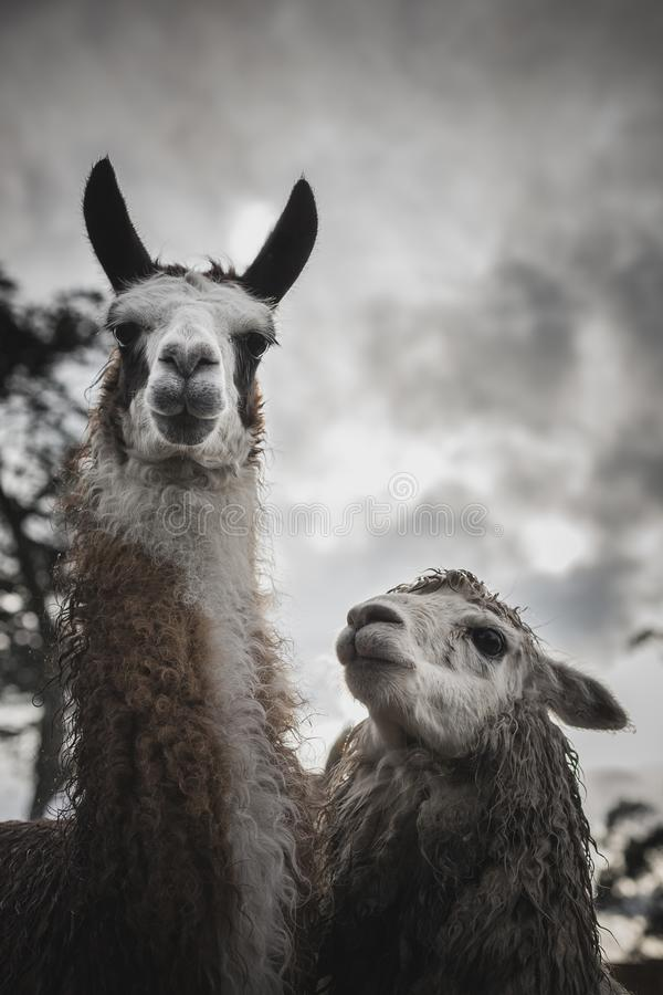 Llama and Alpaca on a Farm in the Andes stock photography