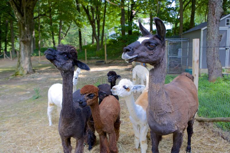 Llama and Alpacas. Small herd of alpacas and one llama looking to their right. Various tawny and brown shades. Green, wooded background stock photos