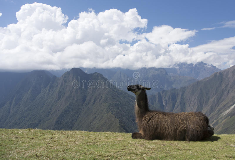 Llama In The Andes Stock Photography