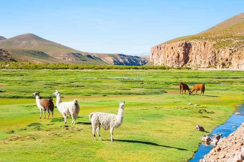Llama in the Andes mountains, Altiplano, Bolivia. stock photo