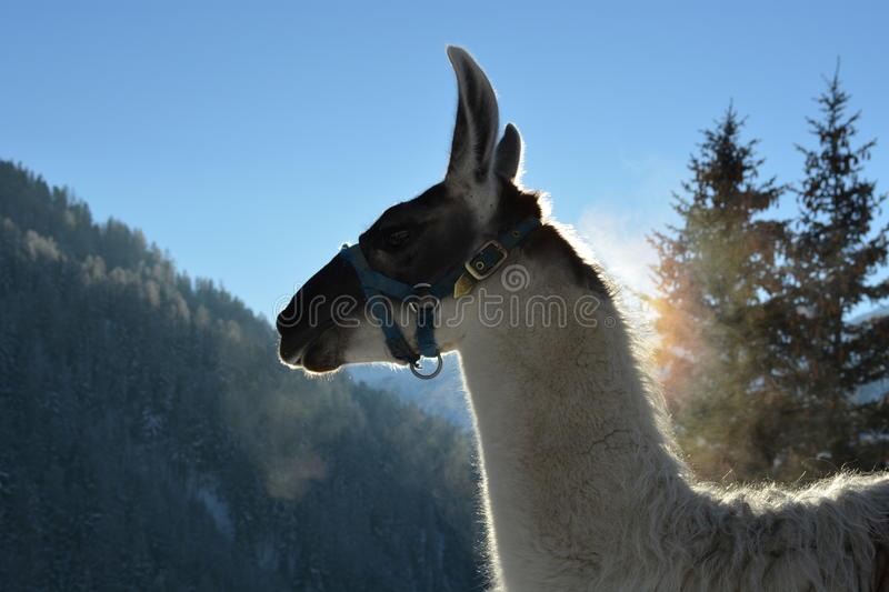 Llama in the Apls stock image