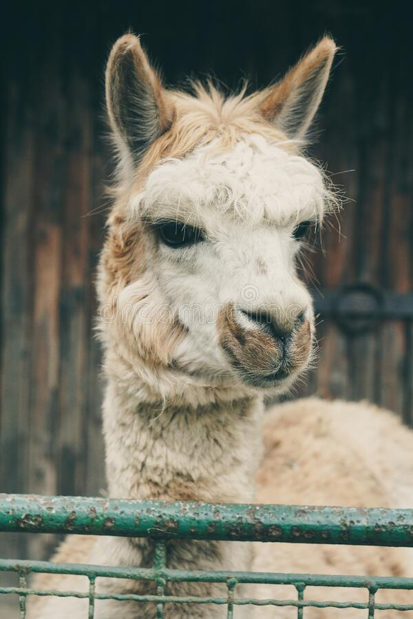 Llama close up stock photos