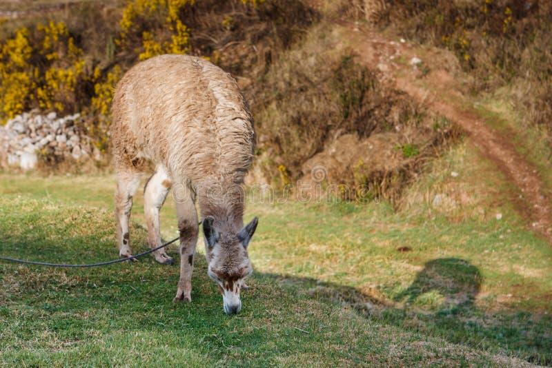 Llama, Cusco, Περού στοκ εικόνες