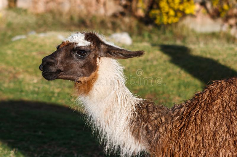 Llama, Cusco, Περού στοκ εικόνα με δικαίωμα ελεύθερης χρήσης