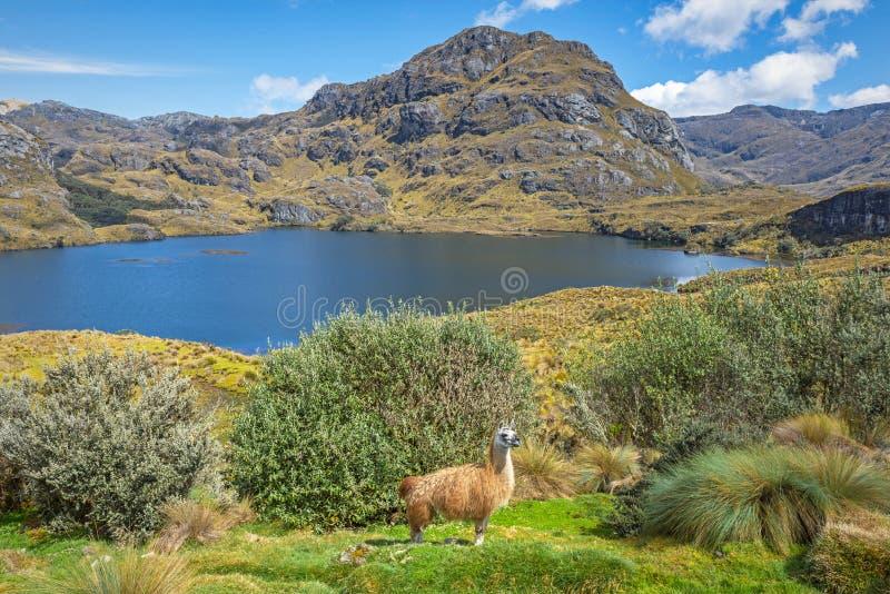 Llama en el parque nacional de Cajas, Cuenca, Ecuador fotos de archivo libres de regalías