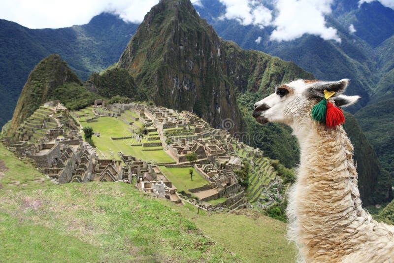 Llama en la ciudad perdida de Machu Picchu - Perú fotografía de archivo