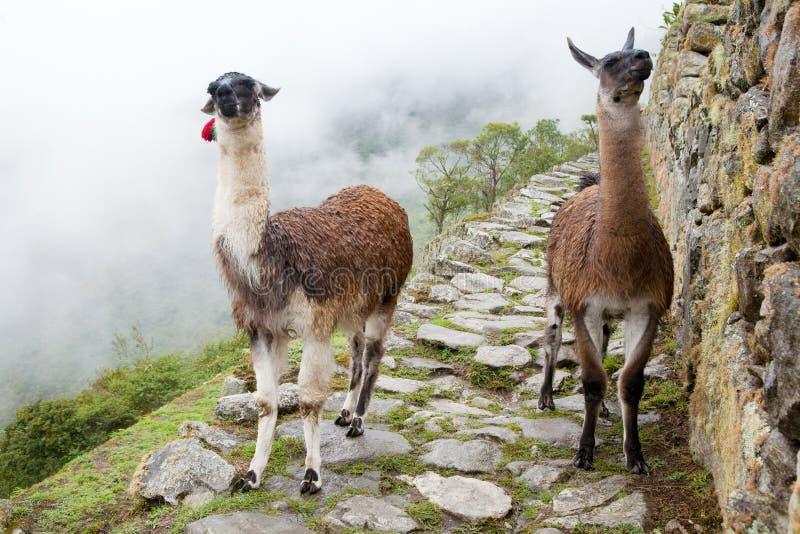 Llama en la ciudad perdida de Machu Picchu - Perú foto de archivo