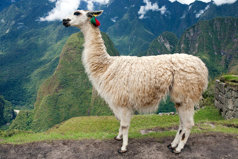 Llama en la ciudad perdida de Machu Picchu - Perú fotos de archivo