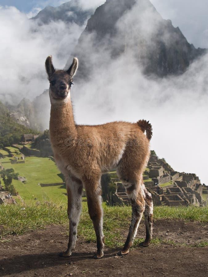 Llama en Machu Picchu (Perú) fotos de archivo