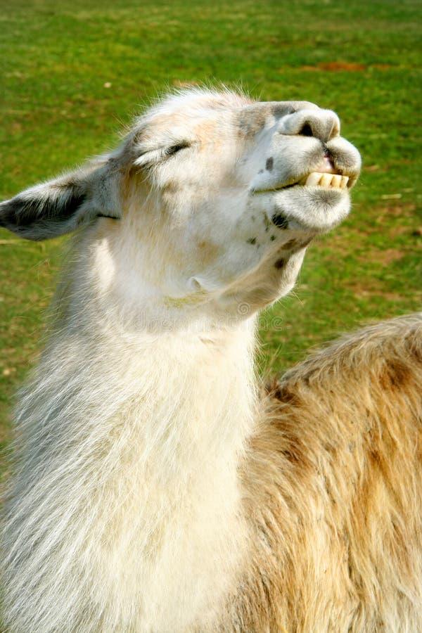 Llama enjoys the sun stock images