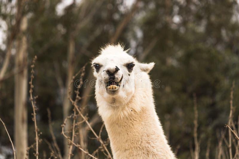 Llama enojada que muestra los dientes, la alpaca agresiva, mal con los oídos detrás, protector y que amenaza animal imagen de archivo libre de regalías