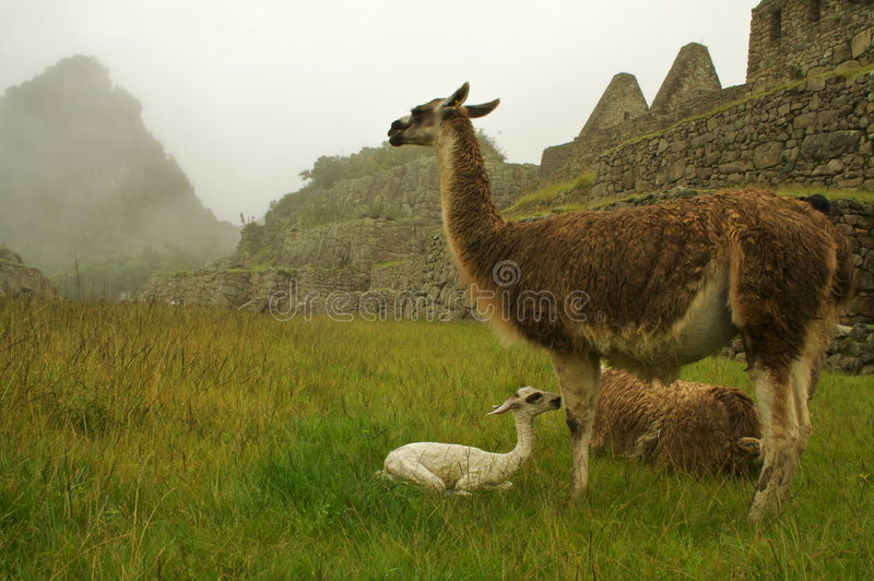 Llama family on machu picchu stock images