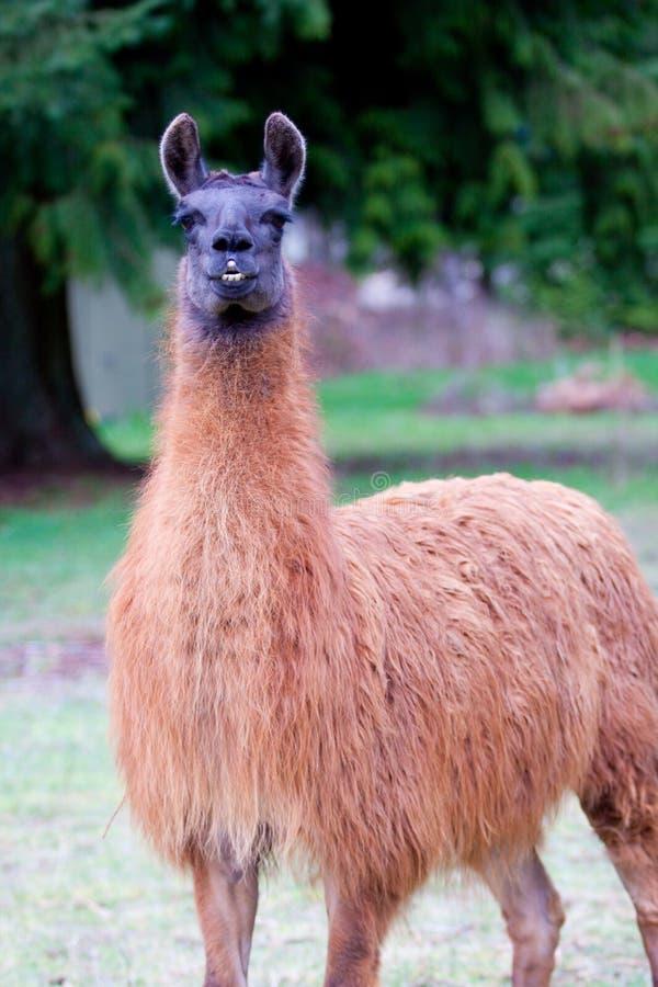 Llama in Field stock photo