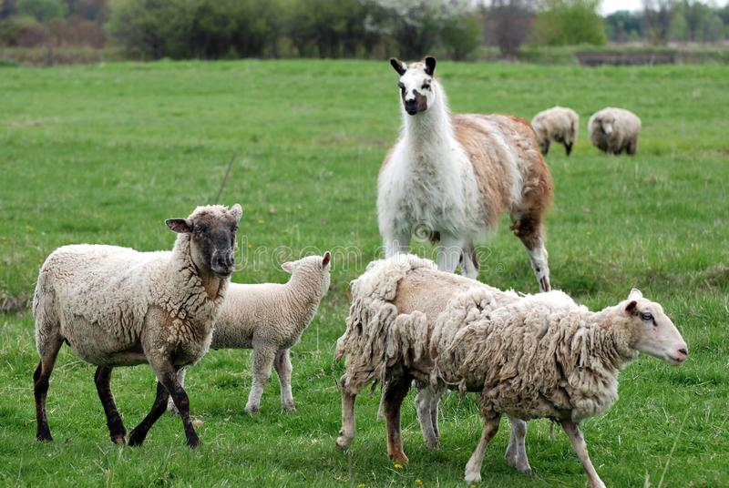 Llama in field with sheep stock photo