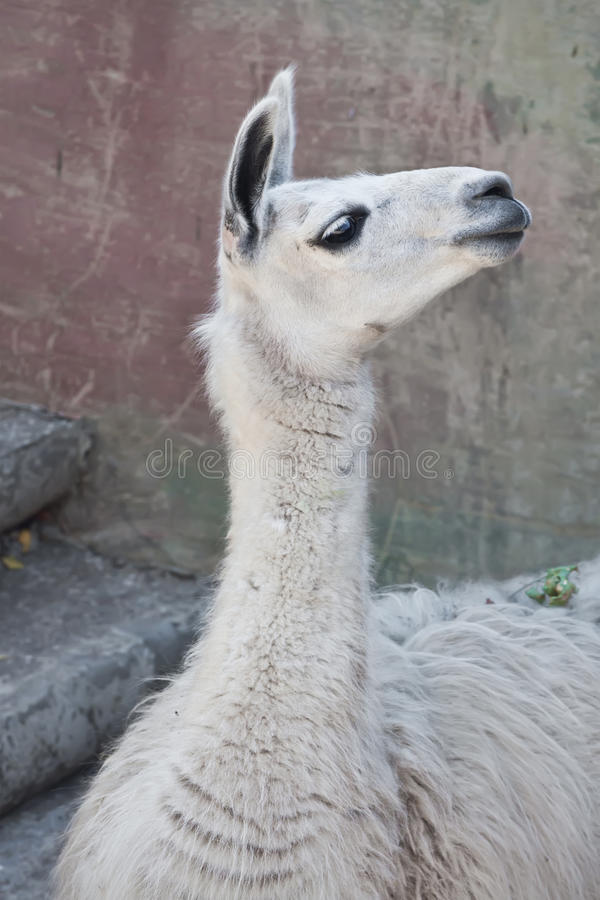 Llama. Funny close-up portrait of llama in zoo royalty free stock images