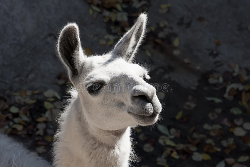 Llama. Funny close-up portrait of llama in zoo royalty free stock photography