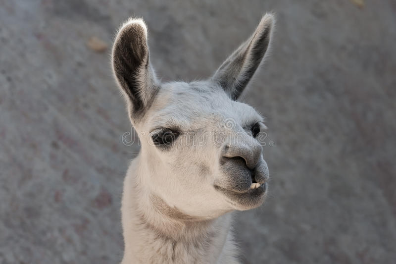 Llama. Funny close-up portrait of llama in zoo stock image