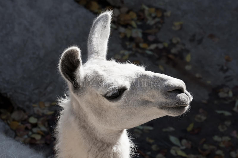 Llama. Funny close-up portrait of llama in zoo royalty free stock image