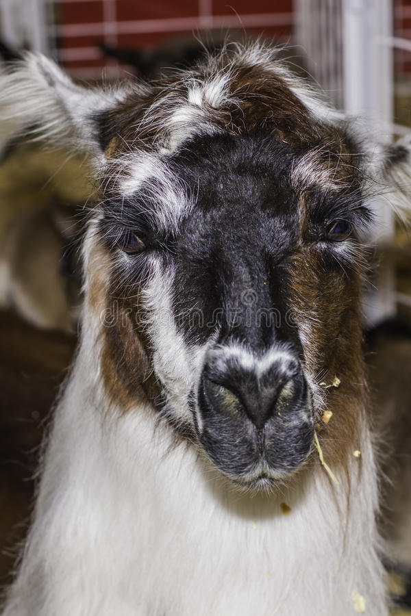 Llama. A funny expression on this face of a llama royalty free stock photography