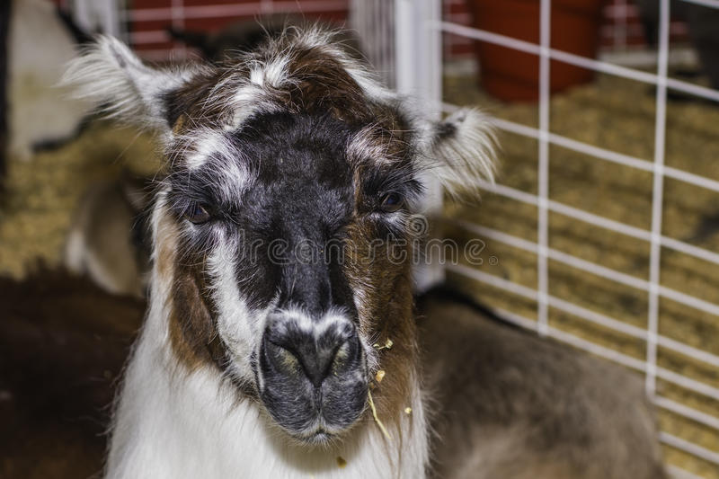 Llama. A funny expression on this face of a llama stock photography