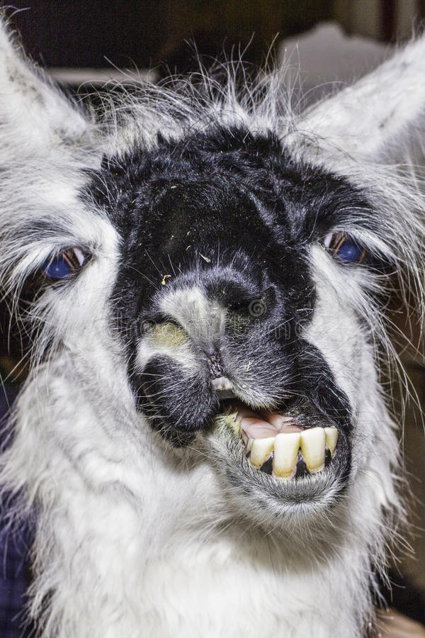 Llama Funny. A funny expression on this face of a llama stock photos