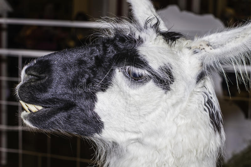 Llama. A funny expression on this face of a llama stock photos