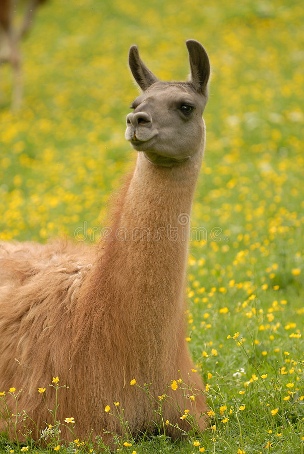 Llama on the grass royalty free stock photo