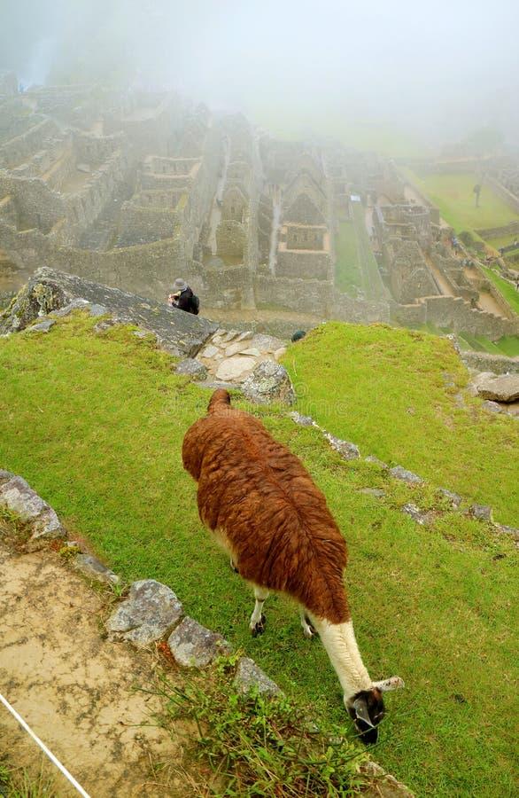 Llama grazing on the ancient agricultural terrace in Machu Picchu Inca citadel, Cusco region, Peru. South America stock photos