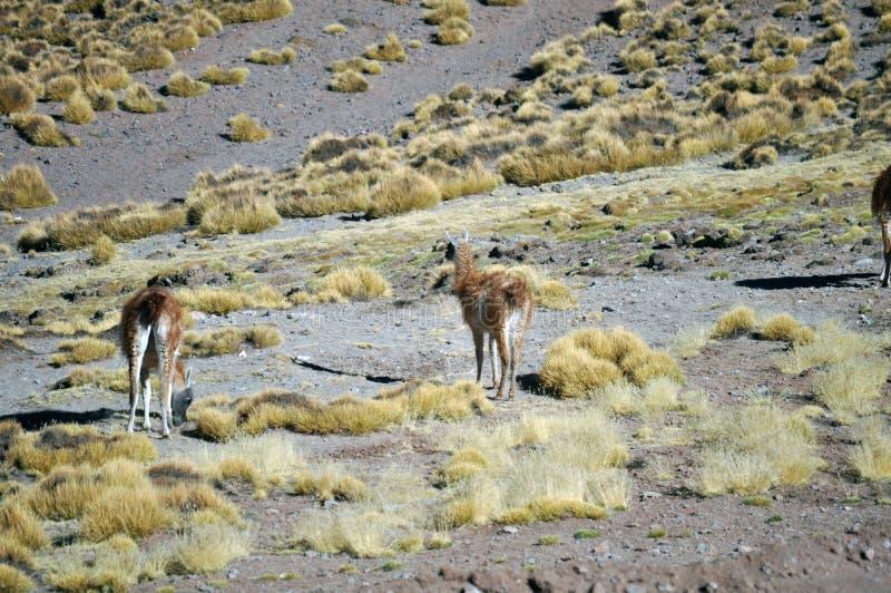 Llamas grazing at The Puna de Atacama or Atacama Plateau stock photo