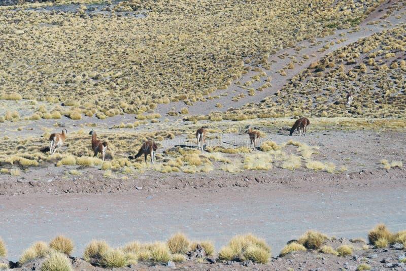 Llamas grazing at The Puna de Atacama or Atacama Plateau stock photography