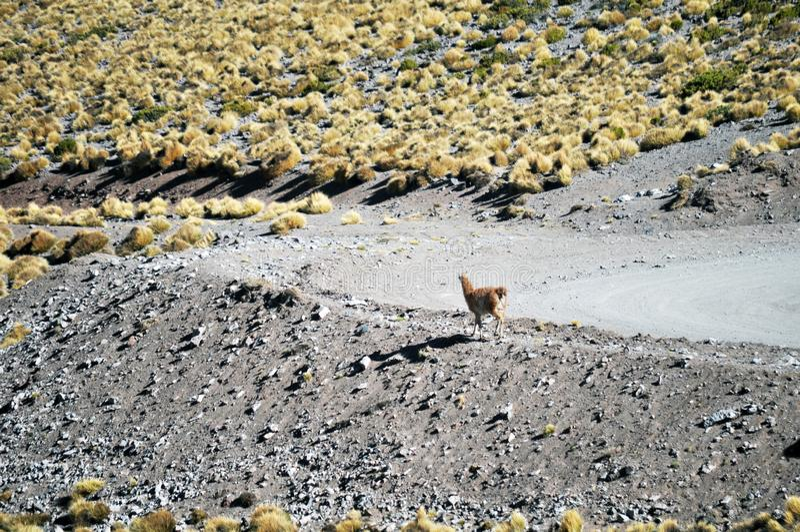 A Llama grazing at The Puna de Atacama or Atacama Plateau stock image