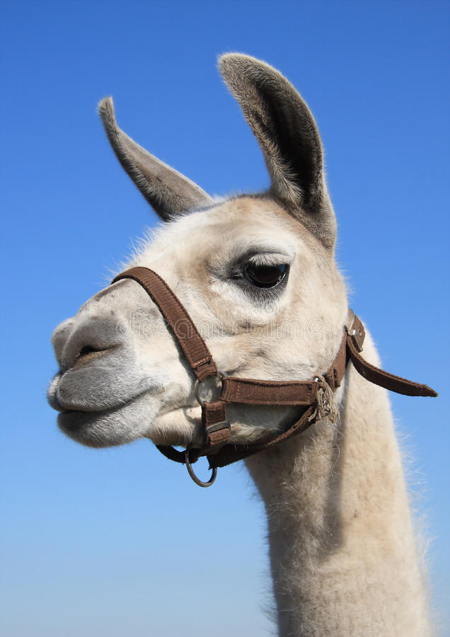 Download Llama Head stock photo. Image of mouth, bridle, head - 14314286