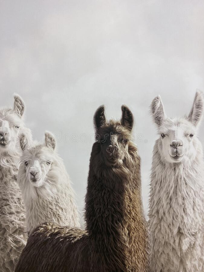 Llama heard on a Llama farm royalty free stock photography