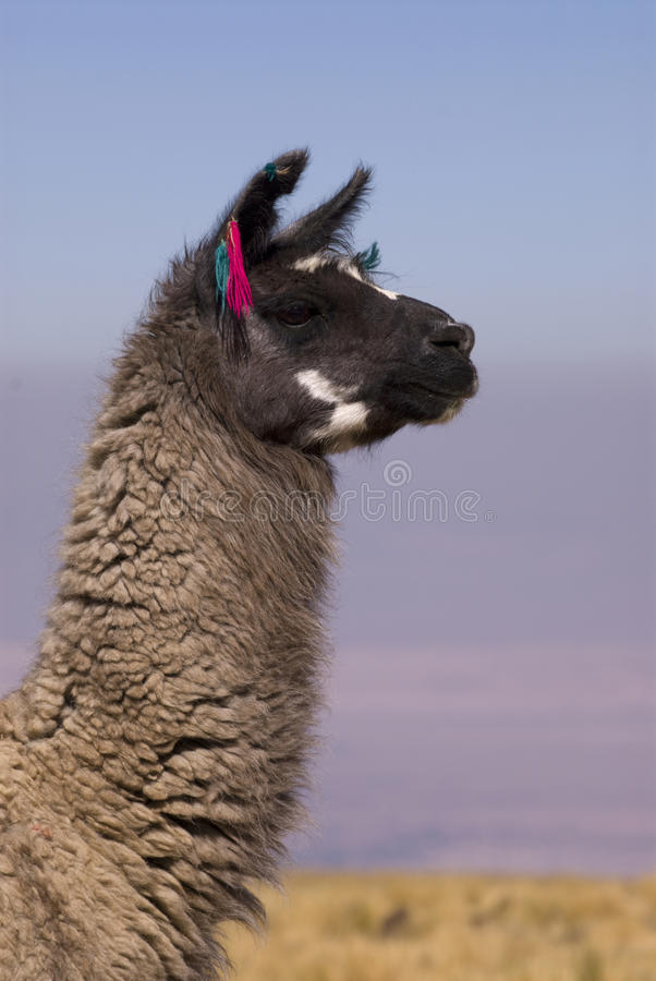 Download Llama A High Altitude Camelid Stock Image - Image of production, national: 11642813