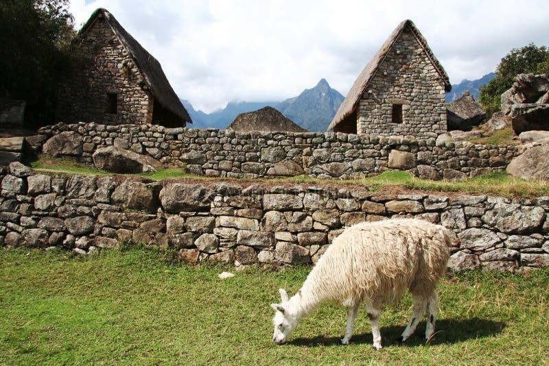 Llama in the incas city Machu-Picchu royalty free stock photo