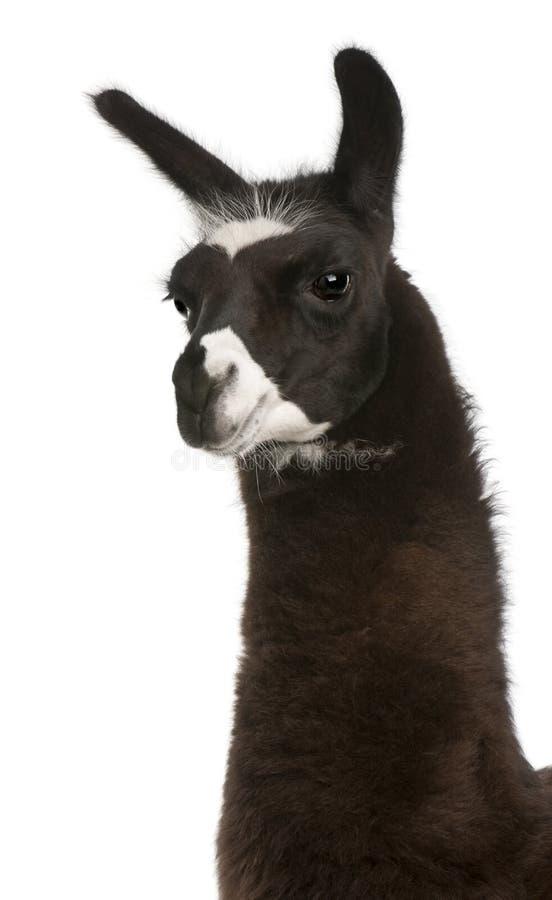 Llama, Lama glama stock image